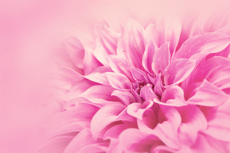 Close-up floral pink Dahlia flower soft color style for background and wallpaper Stock Photo - 66714762