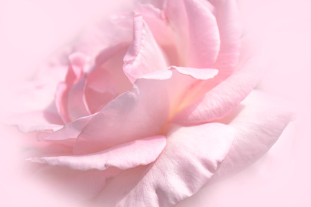 Close-up floral pink rose flower soft color style for background and wallpaper
