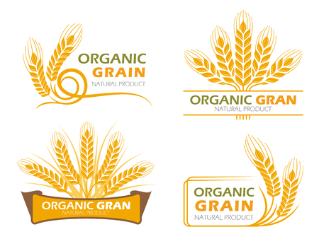 wheat harvest: Yellow paddy barley rice organic grain products and healthy food banner sign vector set design
