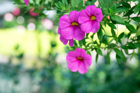 Close up pink flower - Million Bells (Calibrachoa sp.) Stock Photo