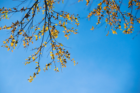 spring leaf: Yellow leaf on branch spring tree and blue sky