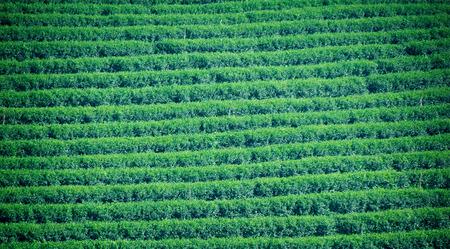 darjeeling: green tea garden farm nature stripe abstract  background