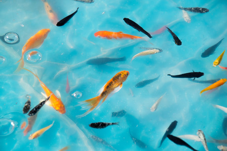 Little goldfish & Koi in Ponds for goldfish scooping game