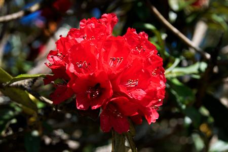 mollis: Close up red Azalea or Rhododendron arobreum