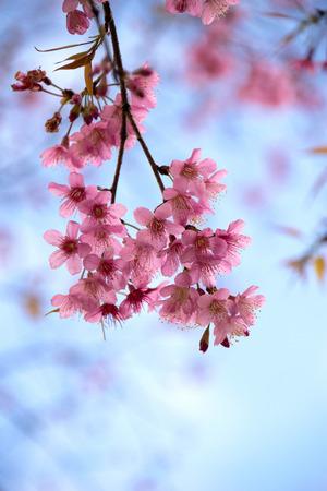 fleur de cerisier: Gros plan de fleurs fraîches de l'Himalaya Wild Cherry