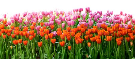 tulips isolated on white background: Orange and pink Tulips flower in the garden isolate on white background