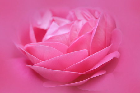 pink flowers: Beautiful Pink rose flower abstract nature background