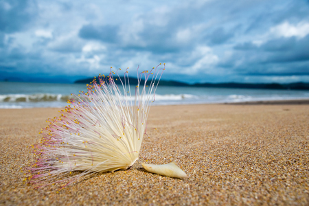 Close up  Flower of Fish Poison Tree on sand beach Stock Photo