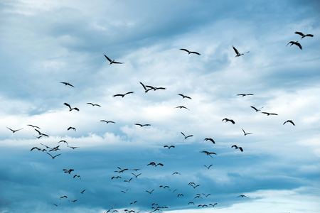 Open-billed stork or Asian openbill Bird group flying  on sky