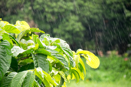 Green Leaves on the branches in Rain falls Stock Photo