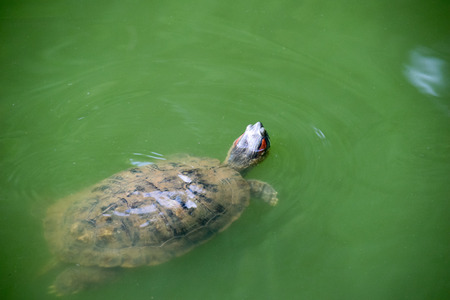 snapping turtle swimming and head up over the surface.