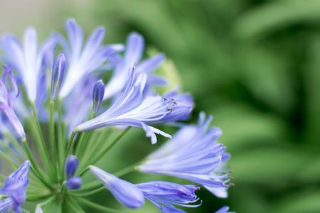 Close-up Beautiful white and soft purple agapanthus africanus flower 版權商用圖片