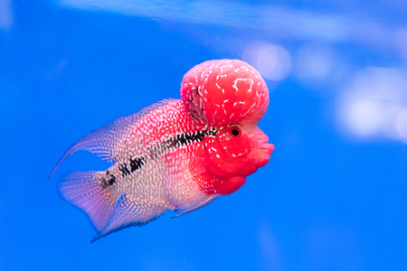 Close up pink red Cichlids fish in blue fish tank Stock Photo