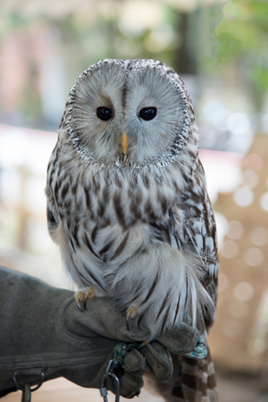 Owl bird pet stands on the hand. Stock Photo