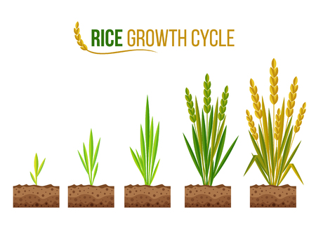 Rice Growth cycle 5 step vector design Vectores