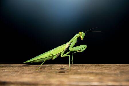 Closeup green Praying mantis insect on wood floor Banco de Imagens