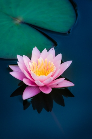 Pink water lily in a pond photo