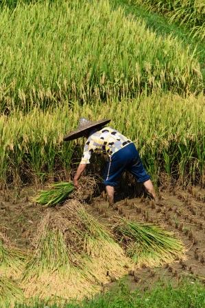 中国桂林ファームで米種付け 写真素材