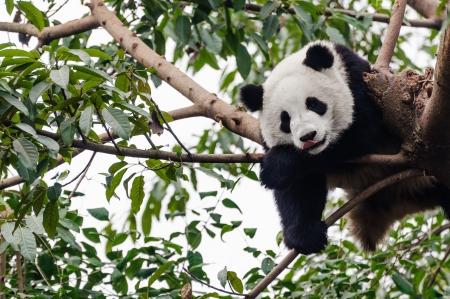 眠っている遊び心のあるジャイアント パンダ