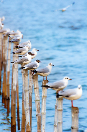 brackish water: seagull stand ordering on neat timber Stock Photo