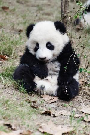 赤ちゃんパンダ座っている眠い