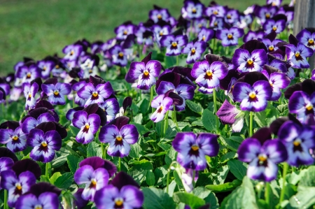 Floral background  viola pansies on grass photo