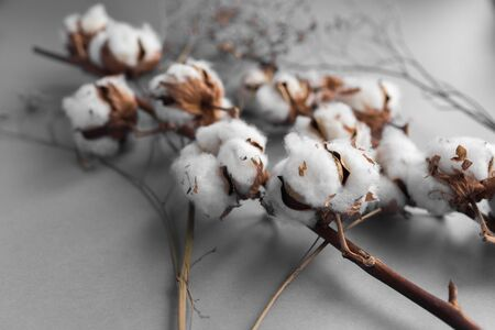 White background with branch of cotton plant.