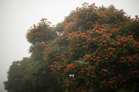 Baliness flowered tree in the fog. Indonesia, Bali Stock Photo