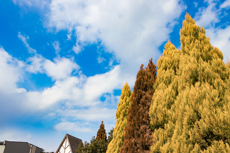 Blue sky and conifers Stock Photo