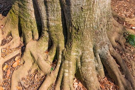 Thick Acorn tree