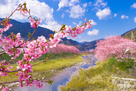 Bellissimi fiori di ciliegio nella città di Kawazu