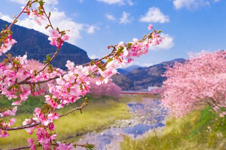 Bellissimi fiori di ciliegio nella città di Kawazu Archivio Fotografico - 97110780