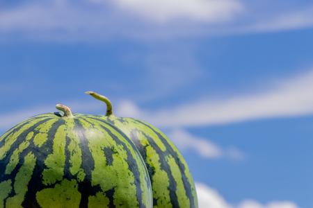 Watermelon field summer image 写真素材