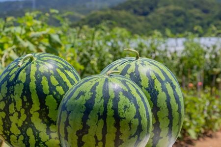 Watermelon field 写真素材