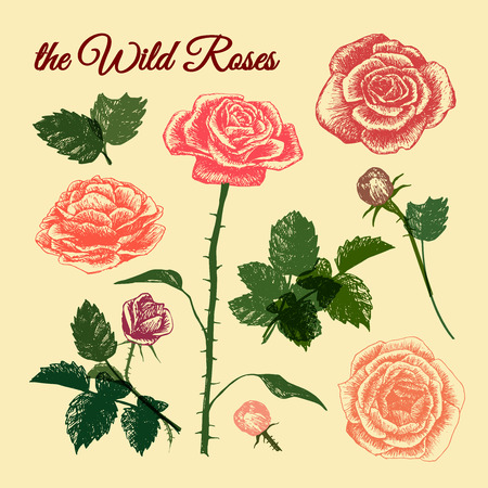 THE WILD ROSES - hand drawn illustration colorful elements