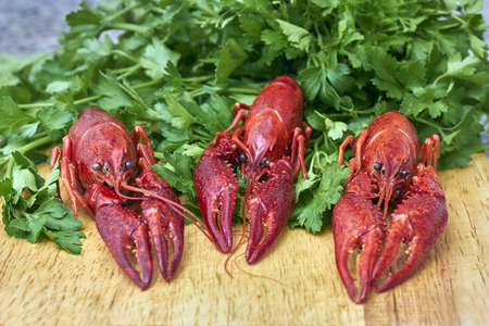 fluvial: Red river crayfish on green parsley on wooden cutting board in front perspective closeup