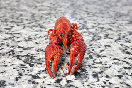 fluvial: One red river boiled crayfish on grey kithen granite worktop in rows front view.