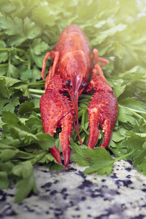 fluvial: One red river boiled crayfish with parsley on grey kithen granite worktop in front view.