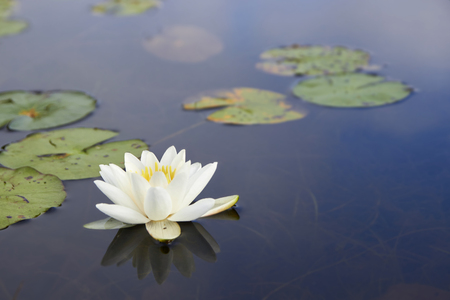 brushwood: Macro of white nenuphar and the green leaves floating on a dark blue water Stock Photo