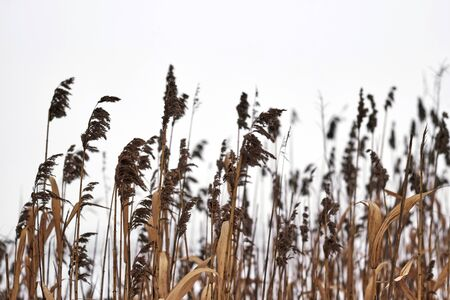bullrush: Winter fields of a dry bulrush