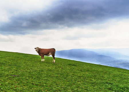beautiful cow: Beautiful cow at the top of the hill