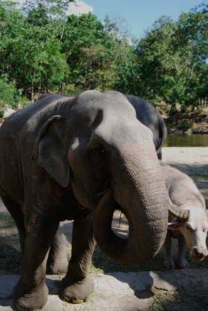 Thai elephant at Khao Kheow Open Zoo Thailand photo