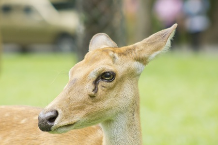 Antelope Portrait , Khao Kheow Open Zoo, Chonburi, Thailand photo