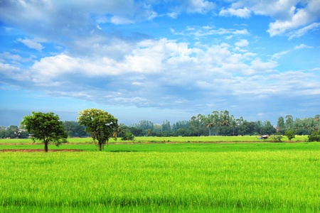 paddies: Rice field green grass blue sky cloudy landscape background