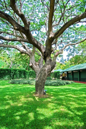 Branches of big trees in the garden