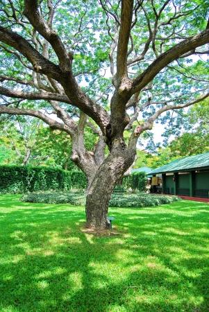 Zweigstellen von großen Bäumen im Garten
