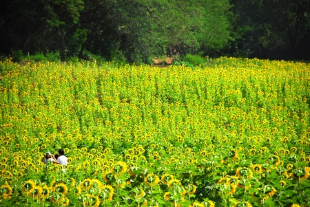 Traveler in a field of sunflowers photo