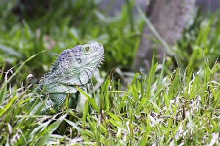 Close-up green iguana photo