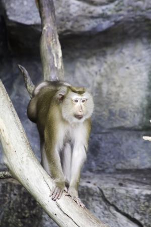 herbivore natural: Pig-tailed Macaque (Macaca nemestrina)