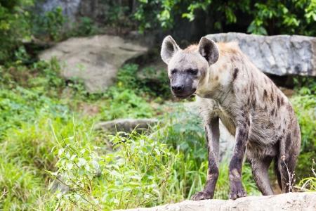 Hyena in Khao Kheow Open Zoo, Chonburi, Thailand photo